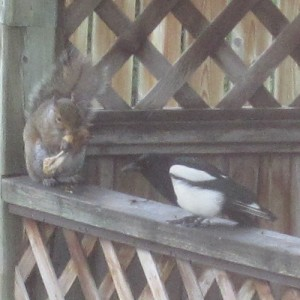 Magpie_and_Friend